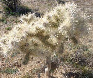 attacking white cactus