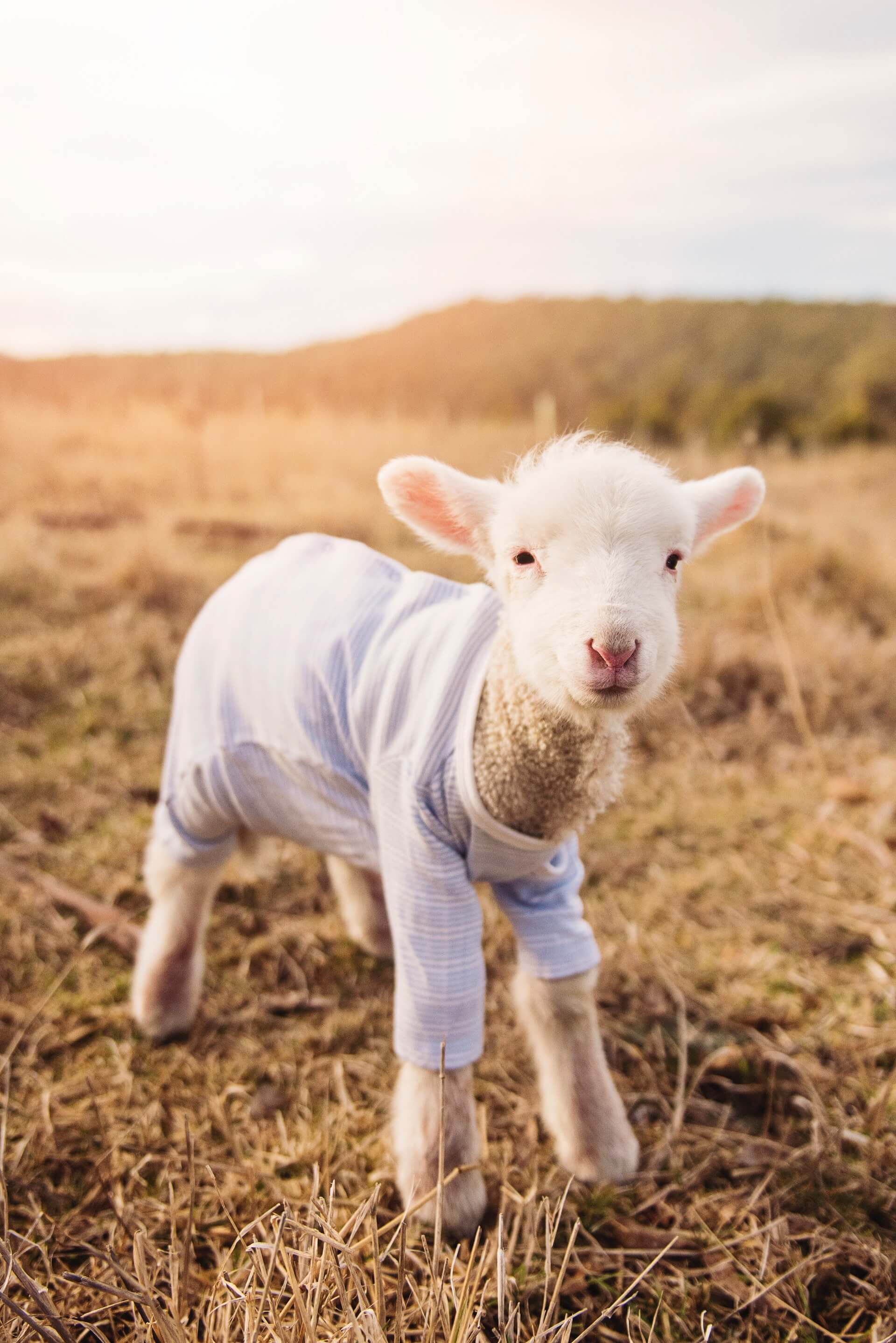 lamb-in-a-sweater
