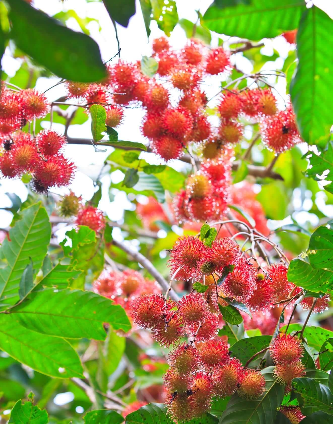 rambutans on the tree