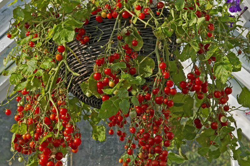 grape tomatoes growing in a hanging basket