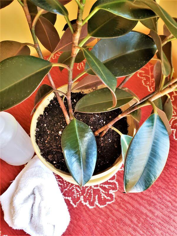 how to clean a house plant