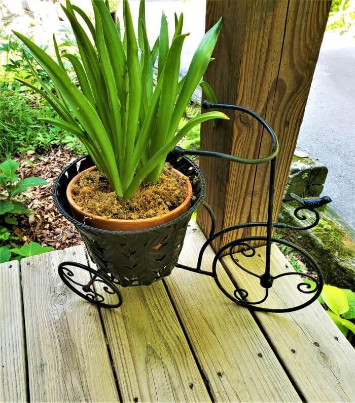 bicycle planter with hyacinth bulbs